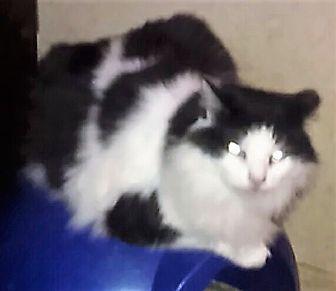 Siamese Cat for adoption in Goldsboro, North Carolina - Spooky