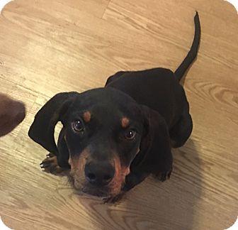 Coonhound Mix Puppy for adoption in Manhattan, Kansas - Roscoe
