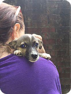 Miniature Pinscher Mix Puppy for adoption in Acworth, Georgia - Penelope Bones