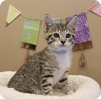 Domestic Shorthair Kitten for adoption in Germantown, Tennessee - The Rock