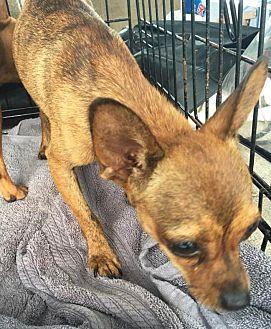 Chihuahua Mix Dog for adoption in Savannah, Georgia - Grace