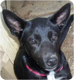 Labrador Retriever Mix Dog for adoption in Olive Branch, Mississippi - Sissy