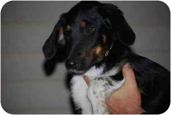 Cattle Dog/Beagle Mix Puppy for adoption in Broomfield, Colorado - KIX