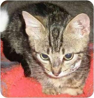 Domestic Shorthair Kitten for adoption in Medford, Massachusetts - Pacifica