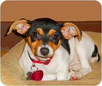 Rat Terrier Mix Puppy for adoption in Oklahoma City, Oklahoma - Rumba