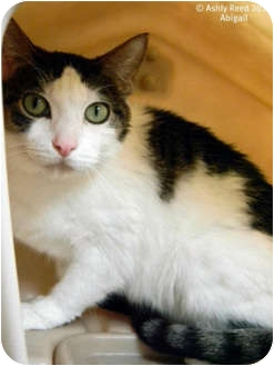 Domestic Shorthair Cat for adoption in St. James, Missouri - Missy
