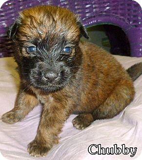 Carolina Dog Mix Puppy for adoption in Georgetown, South Carolina - Chubby