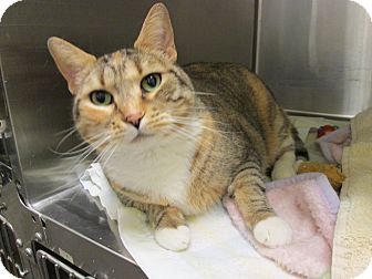 Domestic Shorthair Cat for adoption in Pueblo West, Colorado - Lilly