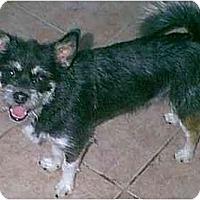Adopt A Pet :: Pepper - dewey, AZ