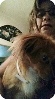 Spaniel (Unknown Type)/Dachshund Mix Dog for adoption in Houston, Texas - LUCAS