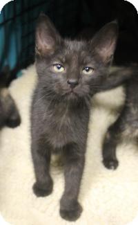 Domestic Shorthair Kitten for adoption in Yukon, Oklahoma - black kittens
