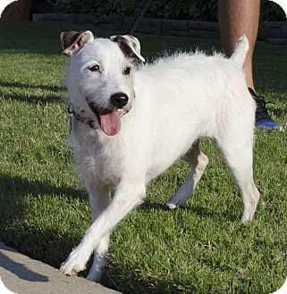 Jack Russell Terrier Dog for adoption in San Antonio, Texas - Britta In Austin-ADOPT PENDING