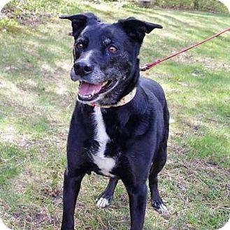 Labrador Retriever Mix Dog for adoption in West Kennebunk, Maine - Samantha