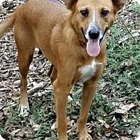 Adopt A Pet :: Amberlynn - Orlando, FL