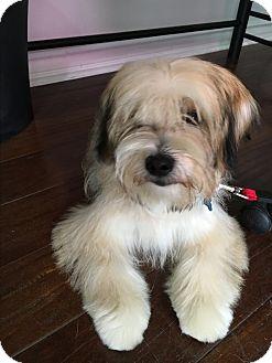 Havanese Mix Puppy for adoption in Cerritos, California - Desi Pup