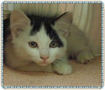 Domestic Mediumhair Kitten for adoption in Marietta, Georgia - LUKE
