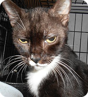 Domestic Shorthair Cat for adoption in Chattanooga, Tennessee - Hope