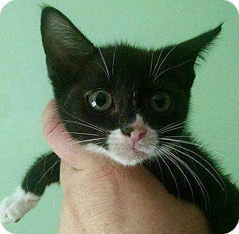 Domestic Shorthair Kitten for adoption in Savannah, Georgia - Apollonia