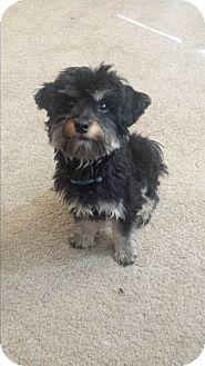 Maltese/Poodle (Miniature) Mix Puppy for adoption in Sacramento, California - kiko