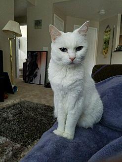 American Shorthair Cat for adoption in Phoenix, Arizona - Pez