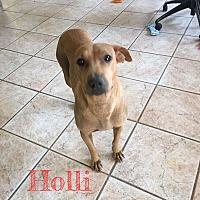 Adopt A Pet :: HOLLI 3 YR SHAR PEI FEMALE - Mesa, AZ