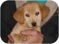 Labrador Retriever Mix Puppy for adoption in Brookville, Ohio - Mooney