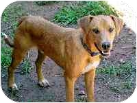 Labrador Retriever/Australian Cattle Dog Mix Dog for adoption in Santa Fe, New Mexico - Jeremy