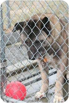 Akita Dog for adoption in East Amherst, New York - Bear
