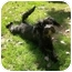 Photo 1 - Schnauzer (Miniature) Mix Dog for adoption in El Segundo, California - Amelie