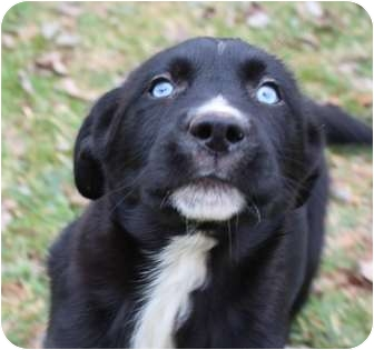 Labrador Retriever/Cattle Dog Mix Puppy for adoption in Hagerstown, Maryland - Alvin