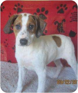 Jack Russell Terrier Mix Puppy for adoption in Hammond, Louisiana - Harley