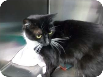 Domestic Mediumhair Cat for adoption in South Boston, Massachusetts - Mittens