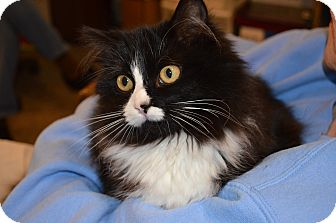Domestic Longhair Cat for adoption in Sanford, Maine - Daphne