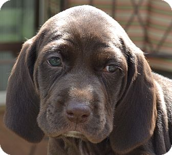English Springer Spaniel/Weimaraner Mix Puppy for adoption in Simi Valley, California - Aby