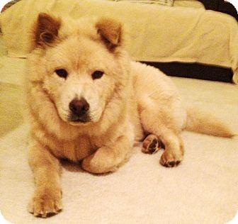 Chow Chow Mix Puppy for adoption in Sacramento, California - Milo!