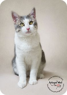 Domestic Shorthair Cat for adoption in Phoenix, Arizona - River