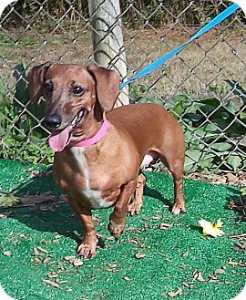 Dachshund Dog for adoption in Marietta, Georgia - SANDY