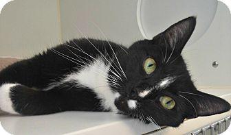 Domestic Shorthair Cat for adoption in Staunton, Virginia - Miley