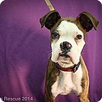Adopt A Pet :: Super G - Broomfield, CO