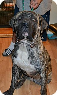 Mastiff Mix Dog for adoption in Clarkston, Michigan - Mongo