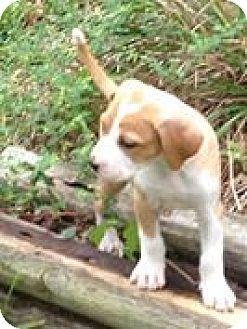 Labrador Retriever/Hound (Unknown Type) Mix Puppy for adoption in Hockessin, Delaware - Jack