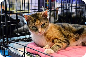 Calico Cat for adoption in Brooklyn, New York - Mitsy