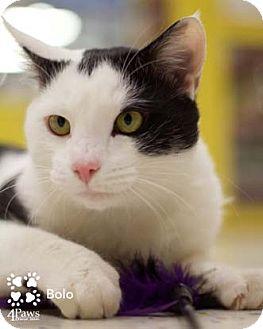 Domestic Shorthair Cat for adoption in Merrifield, Virginia - Bolo