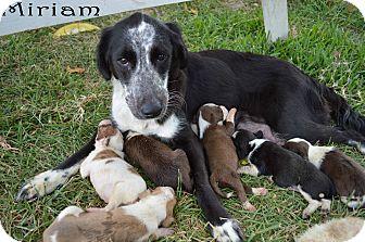 Spaniel (Unknown Type)/Border Collie Mix Dog for adoption in Texarkana, Arkansas - Miriam