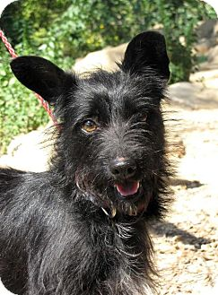Terrier (Unknown Type, Small) Mix Dog for adoption in Fillmore, California - Ebonnie