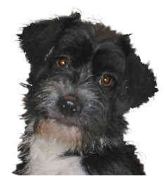 Terrier (Unknown Type, Small)/Shih Tzu Mix Dog for adoption in Sperryville, Virginia - Sassy