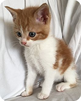 Domestic Shorthair Kitten for adoption in Wayne, New Jersey - Sweet Potato