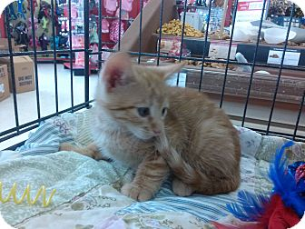 Domestic Shorthair Kitten for adoption in Alamo, California - Topaz