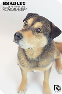 German Shepherd Dog/Labrador Retriever Mix Dog for adoption in Kittery, Maine - BRADLEY