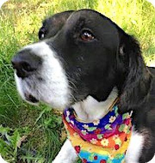 English Springer Spaniel Dog for adoption in Minneapolis, Minnesota - Elskan